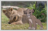 Add Simba cartoon to photo of real lion cubs